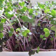 Sprouting Red Cabbage Seeds (Organic) - 100g & 500g
