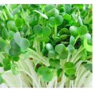Sprouting Radish Seeds (Organic) - 500g  & 1kg